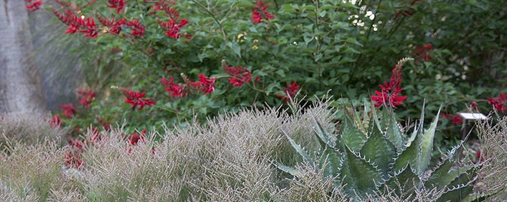 Ruth Bancroft Nursery Plants